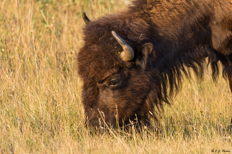 American Bison, Theodore Roosevelt NP, ND
