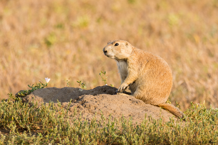 Black-tailed Prairie Dog,Theodore Roosevelt national Park, ND