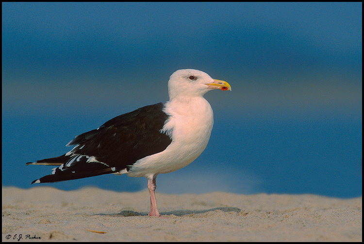 Great Black-backed Gull, Cape May, NJ