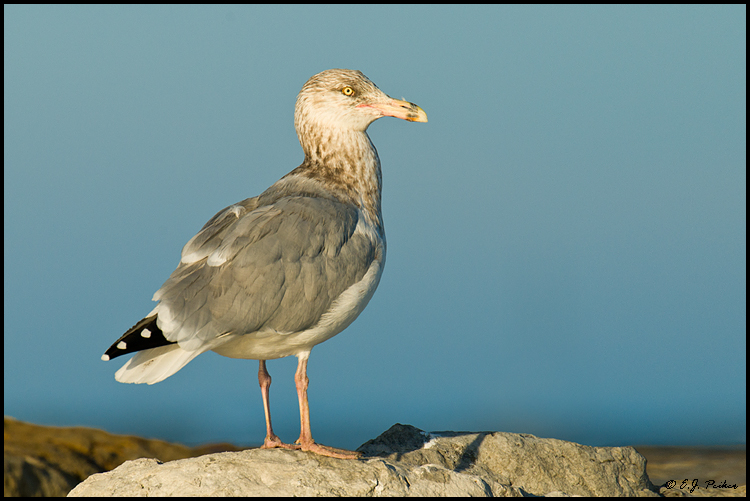 Great Black-backed Gull, Barnegat, NJ