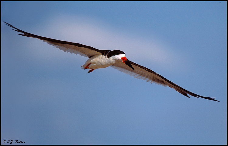 Black Skimmer, Cape May, NJ