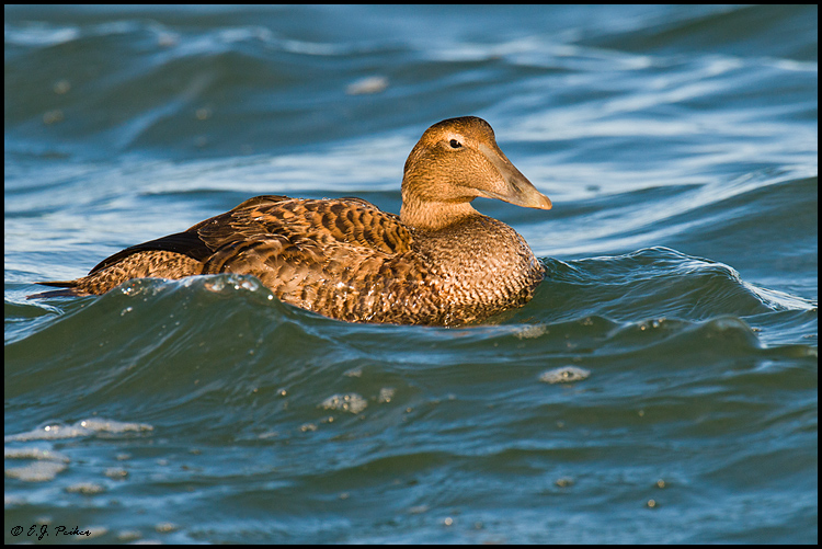 Common Eider, Barnegat, NJ