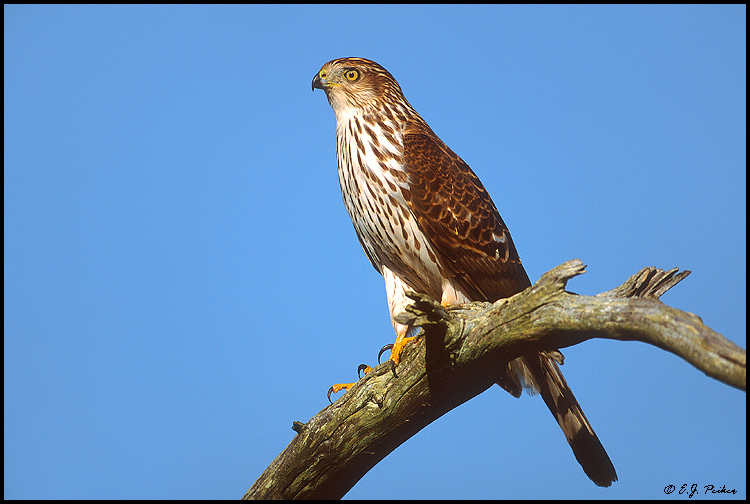 Cooper's Hawk, Cape May, NJ