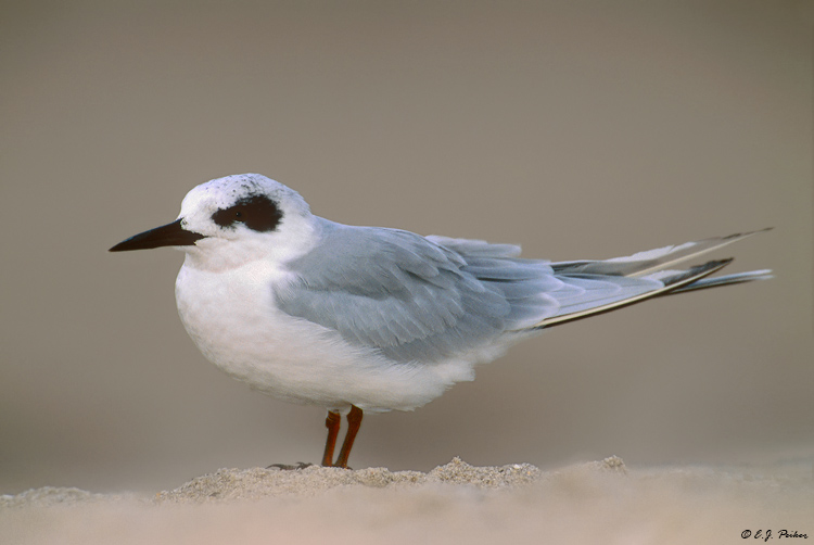 Forster's Tern, Cape May, NJ