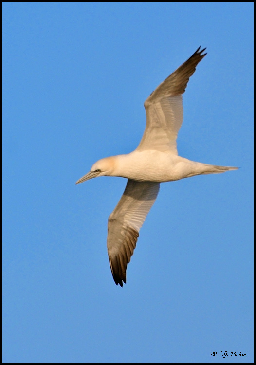 Northern Gannet, Barnegat, NJ