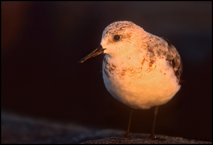 Sanderling, Cape May, NJ