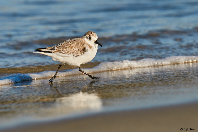 Sanderling, Barnegat, NJ