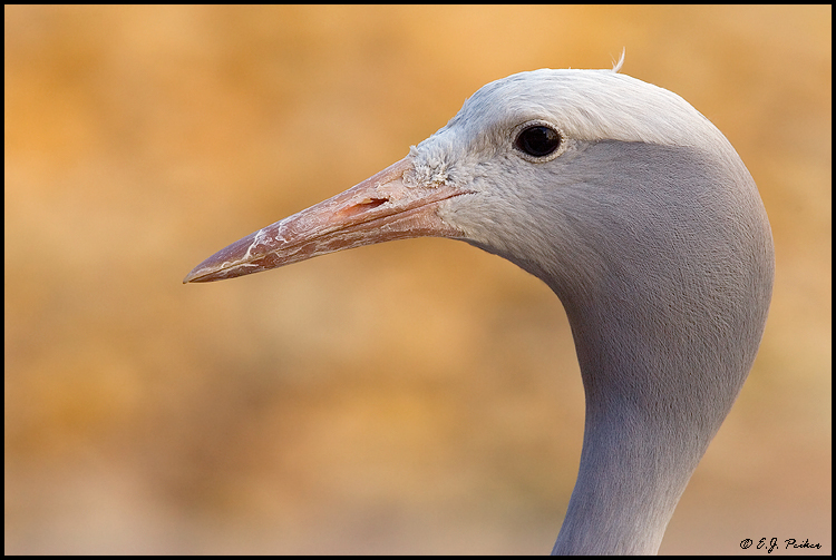 Blue Crane, Albuquerque, NM