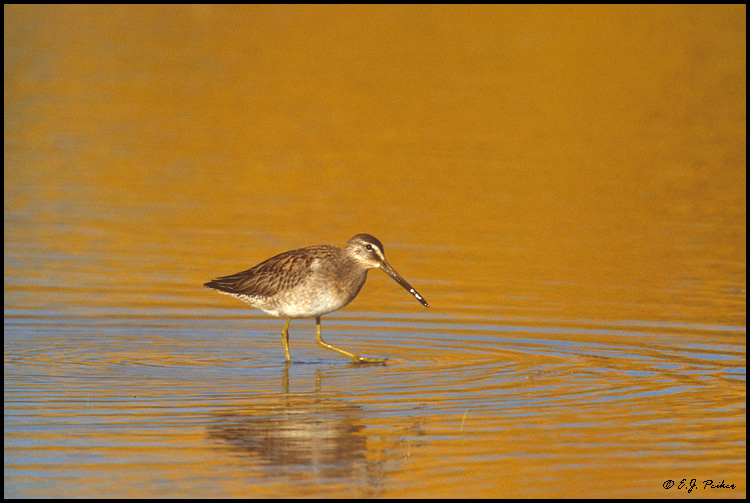 Long-billed Dowitcher, Bosque del Apache NWR, NM