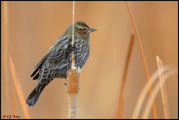 Red-winged Blackbird, Bosque del Apache, NM