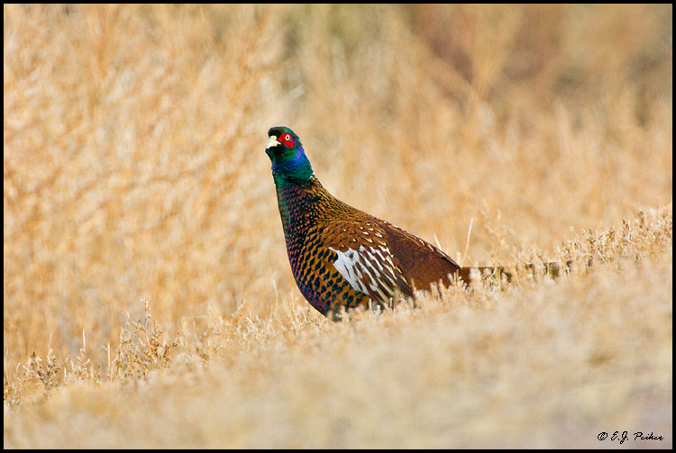 Ring-necked Pheasant, Bosque del Apache, NM