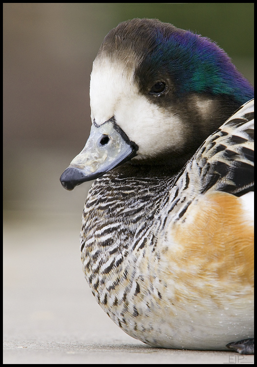 Chiloe Wigeon, Albuquerque, NM