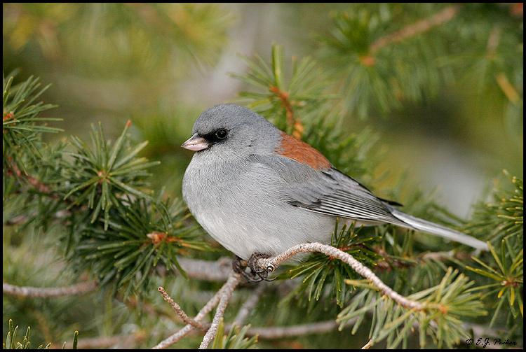 Dark-eyed Junco, Sandia Crest, NM