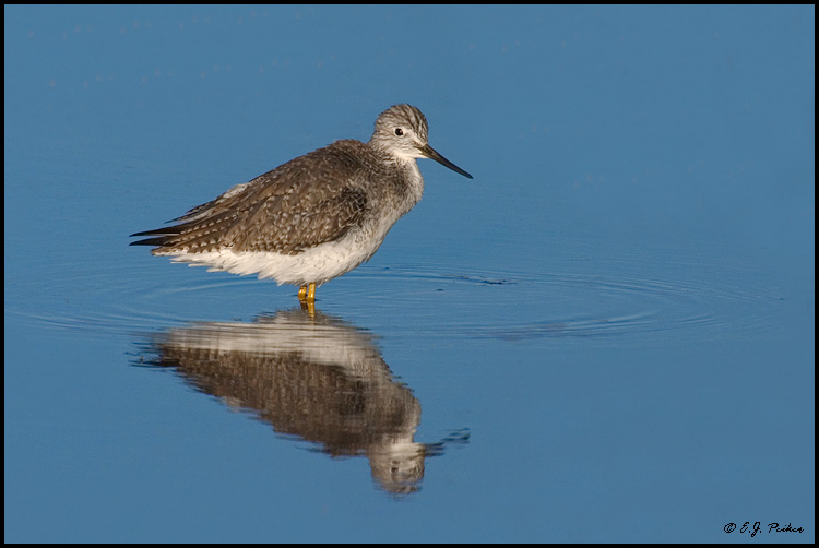 Greater Yellowlegs, Bosque del Apache NWR, NM