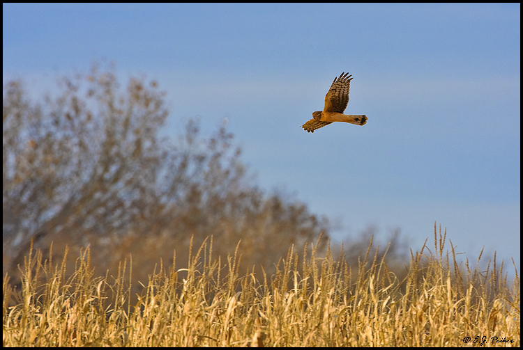Northern Harrier, Bosque del Apache NWR, NM