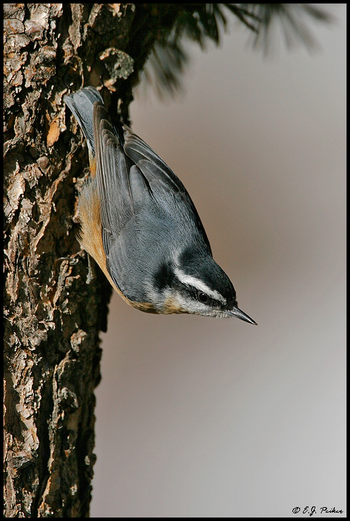 Red-breasted Nuthatch, Sandia Crest, NM