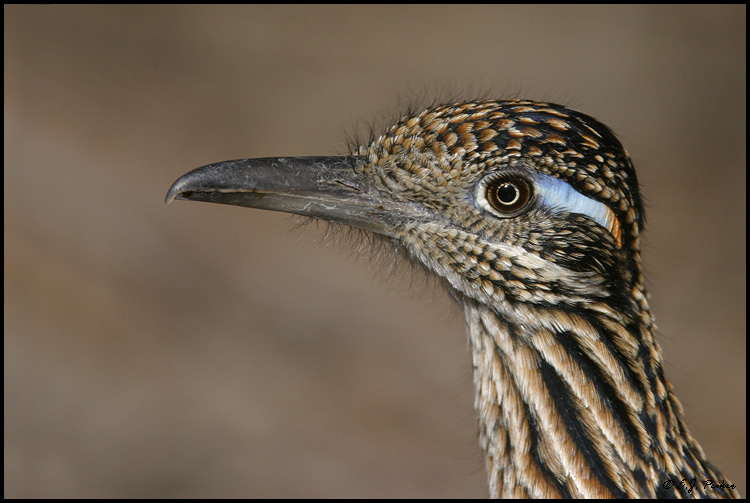 Greater Roadrunner, Bosque del Apache NWR, NM