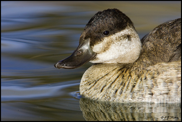 Ruddy Duck, Albuquerque, NM
