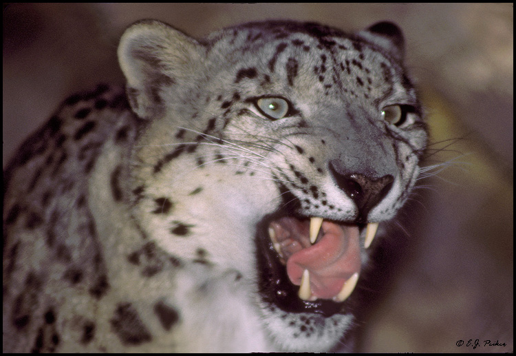 snow leopard pictures. Snow Leopard