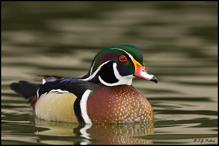 Wood Duck, Albuquerque, NM