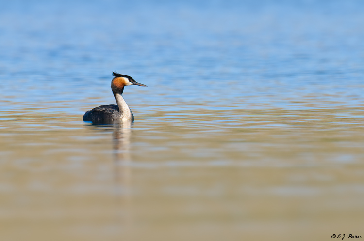 Australasian Crested Grebe, New Zealand