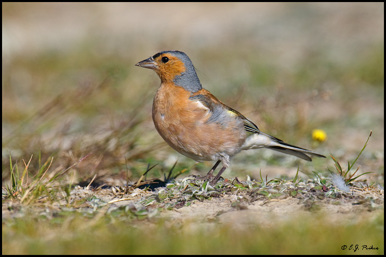Chaffinch, New Zealand