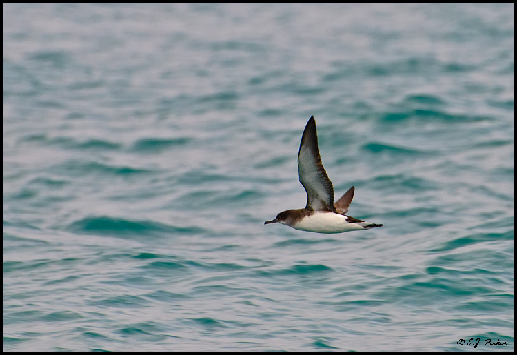 Hutton's Shearwater, New Zealand
