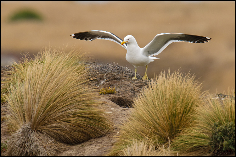Kelp Gull, New Zealand