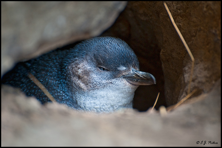 Little Blue Penguin, New Zealand