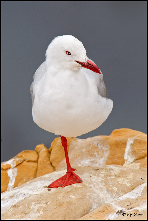 Red-billed Gull, New Zealand