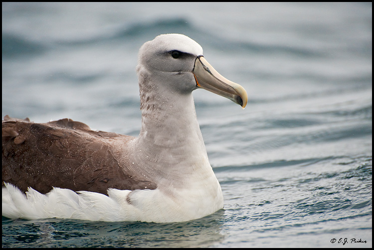 Salvin's Albatross (Shy Mollymawk), New Zealand