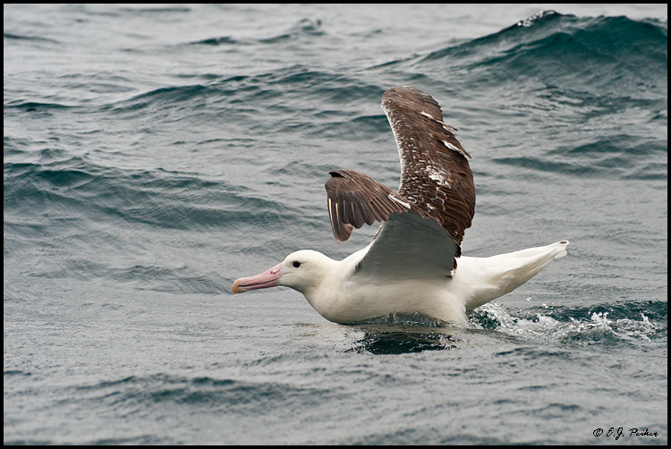 Southern Royal Albatross, New Zealand