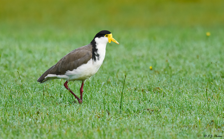 Spur-winged Plover, New Zealand