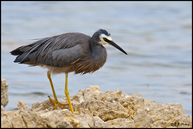 White-faced Heron, New Zealand