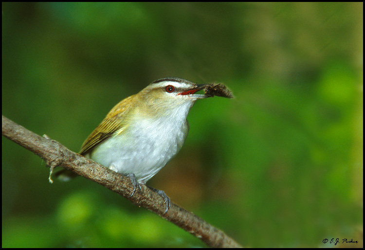 Red-eyed Vireo, OH