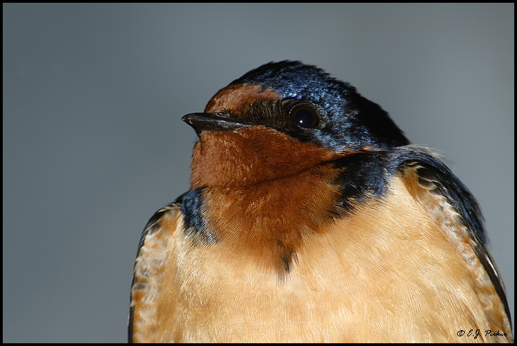 Barn Swallow, Point Pelee, ON