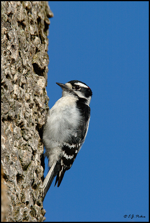 Downy Woodpecker, Point Pelee, ON