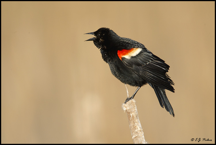 Red-winged Blackbird, Pt. Pelee, ON