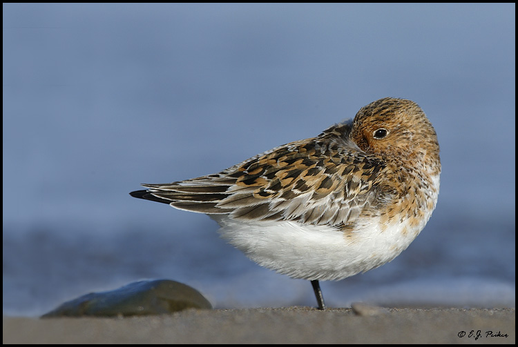 Sanderling, Point Pelee, ON