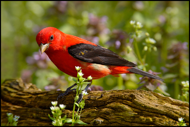 Scarlet Tanager, Point Pelee, ON