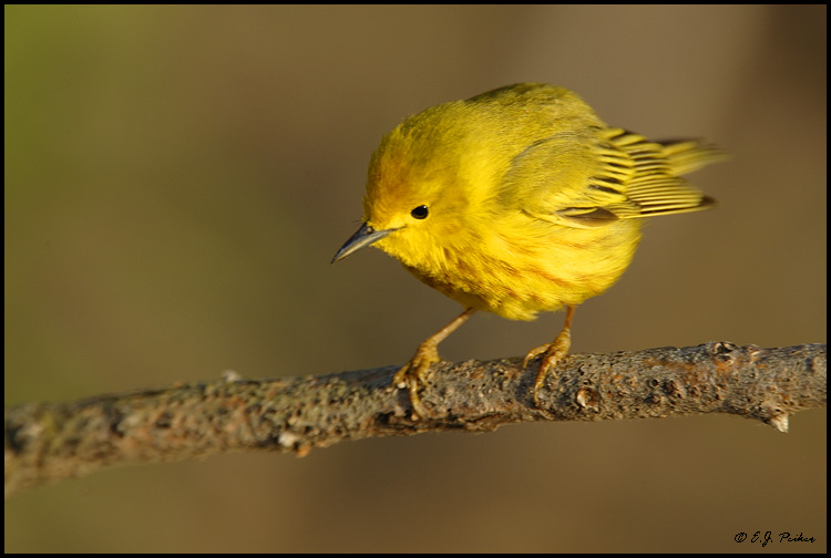 Yellow Warbler, Point Pelee, ON