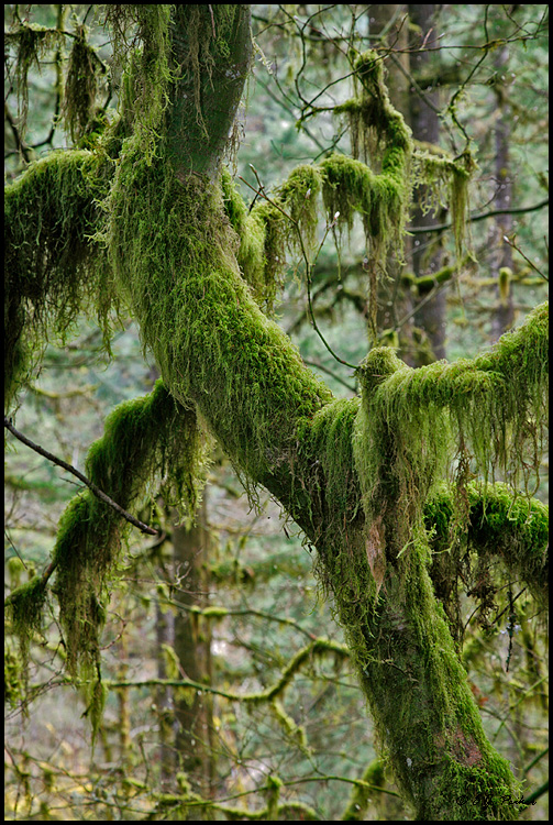 Mossy Tree, Silver Falls SP