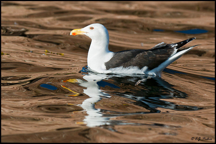 Great Black-backed Gull, Ile Bonaventure, Quebec