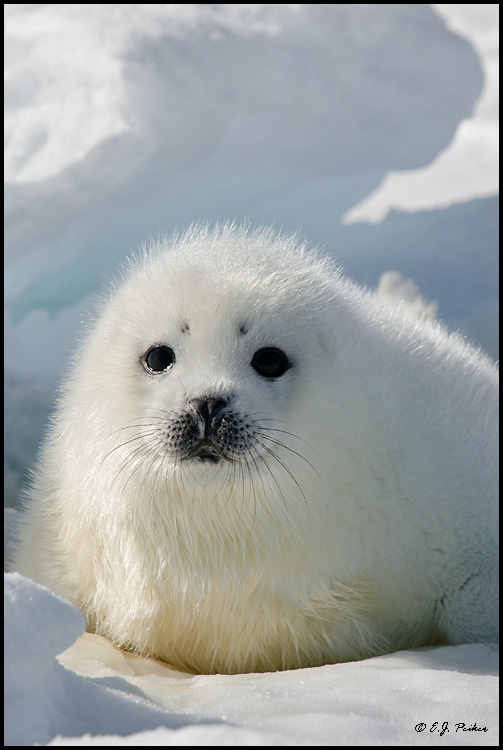 Harp Seal, Gulf of St Lawrence, QB