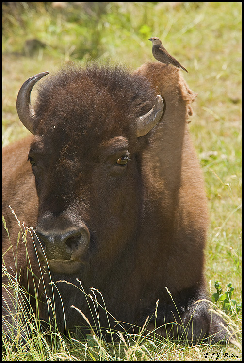 American Bison, Custer State Park, SD