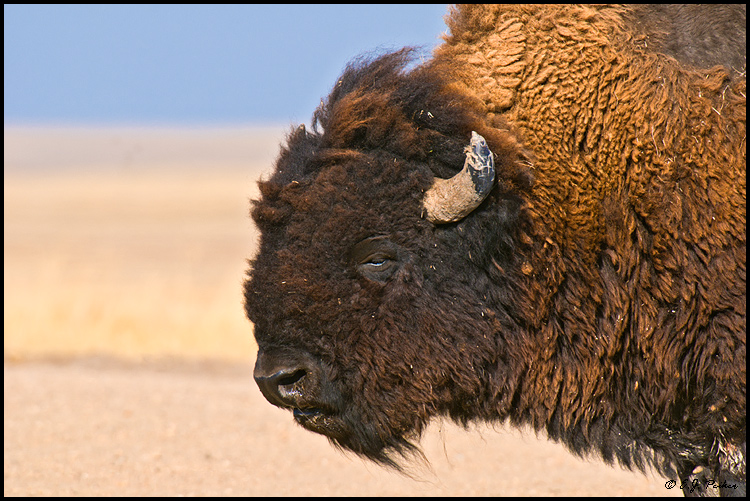 American Bison, Badlands NP, SD