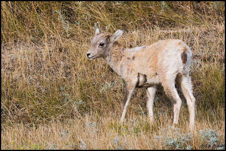 Bighorn Sheep,Badlands NP, SD: www.ejphoto.com/bighorn_sheep_page.htm