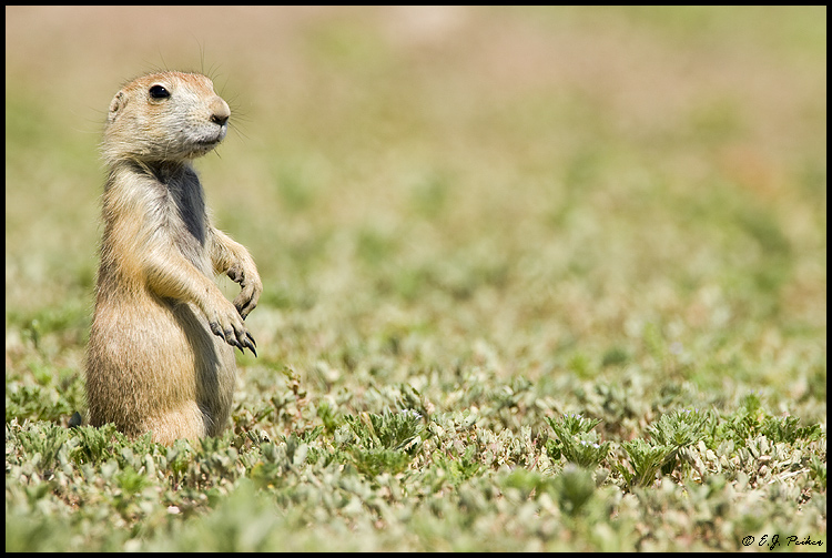 Black-tailed Prairie Dog, Custer State Park, SD