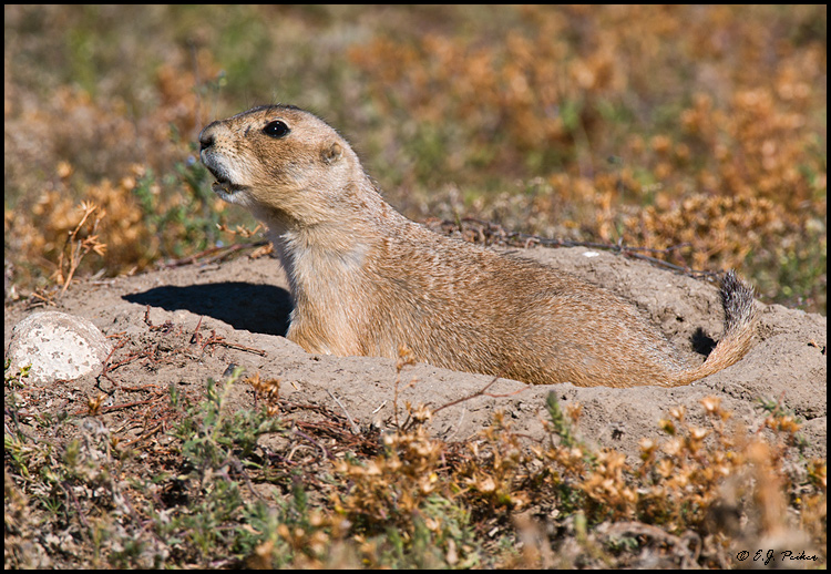 Black-tailed Prairie Dog, Wind Cave NP, SD