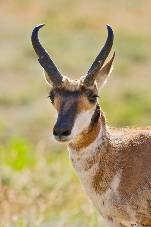 Pronghorn Antelope, Custer State Park, SD